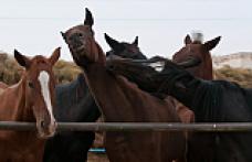 Kazakça Bir Atasözü: Dokuz at bir kazığa bağlanmaz