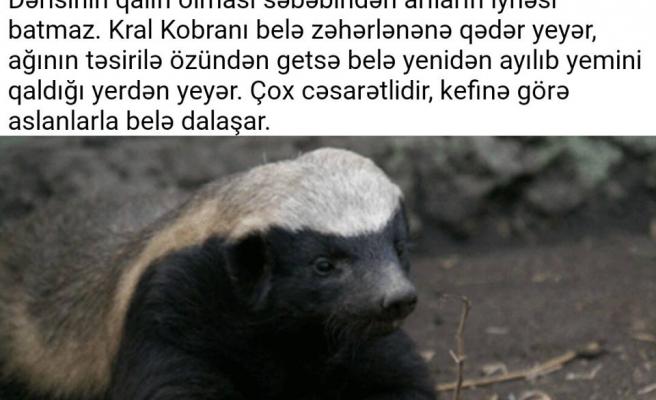 Azerbaycan Türkçesinden Güzel Sözler ve Cümleler: Biliyor musunuz?  Bal porsuğu, günde 80 km yürüyerek önüne çıkanı yer.