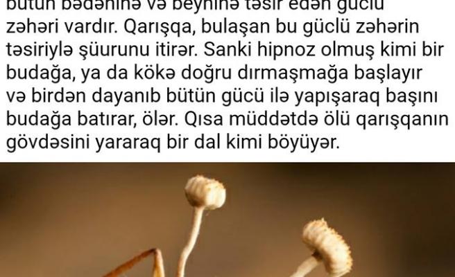 Azerbaycan Türkçesinden Güzel Sözler ve Cümleler: Biliyor musunuz? Kordiseps mantarı...