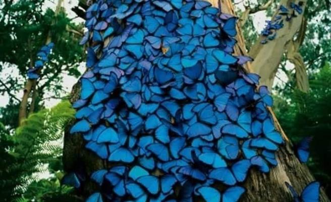 Mavi kelebekleri bilir misiniz?