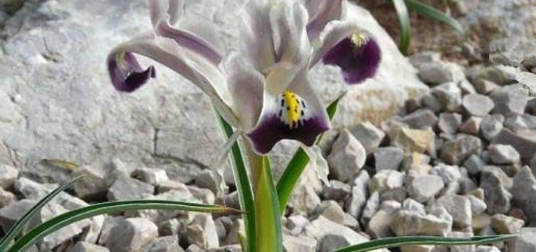 Navrız (Nevruz) Çiçeği Üzerine Güzel Bir Yazı