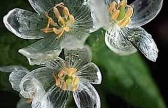 İskelet Çiçeği