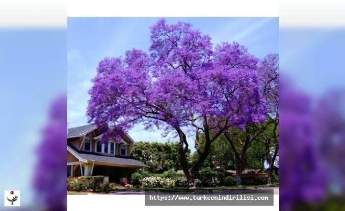 Az bilinen çok değerli bir ağaç: Pavlonya